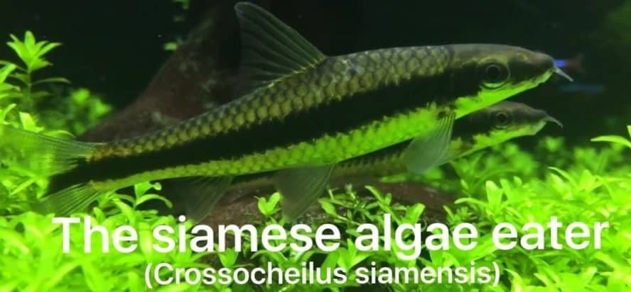 SIAMESE ALGAE EATERS