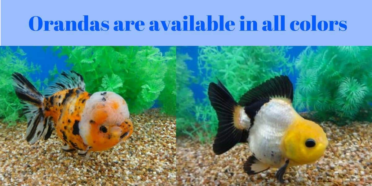 varieties of oranda