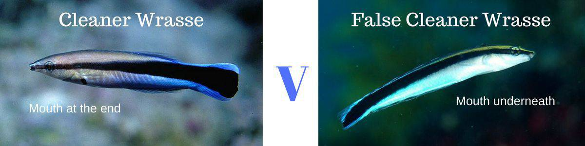 Cleaner wrasse v false wrasse