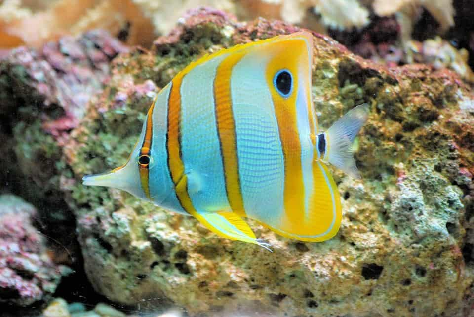 copperband butterflyfish-fishkeepingforever