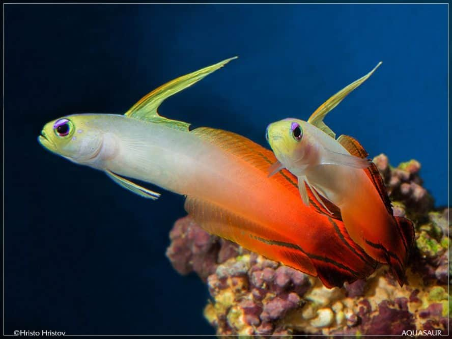 firefish goby-fishkeeping forever