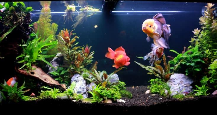 how long will a goldfish live for?