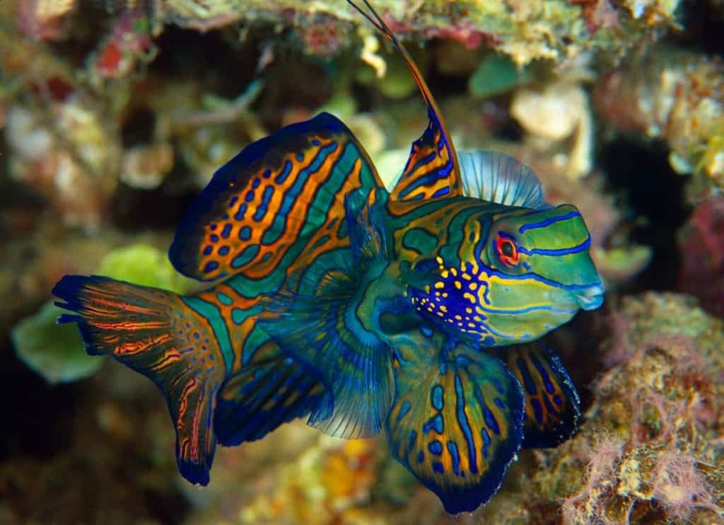 Green Mandarin Dragonet