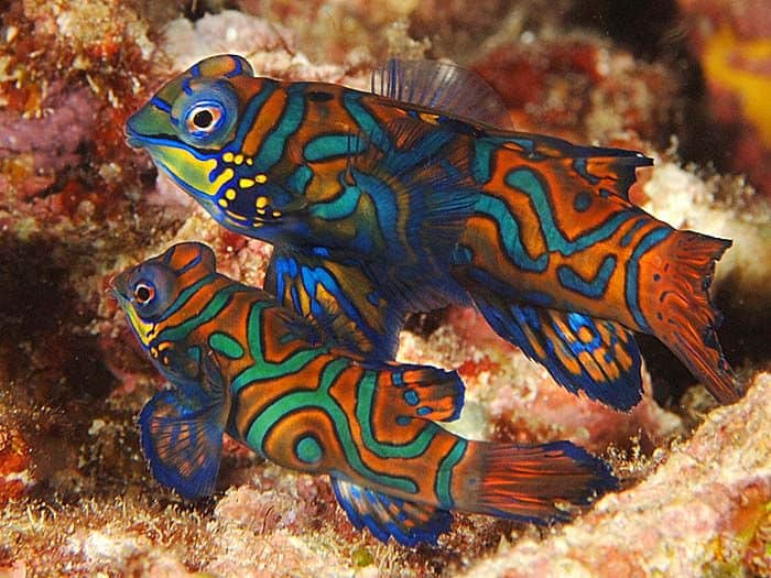 A pair of green mandarin dragonets