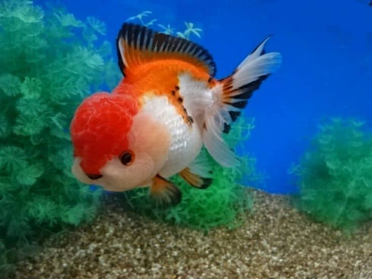 oranda goldfish ultimate guide