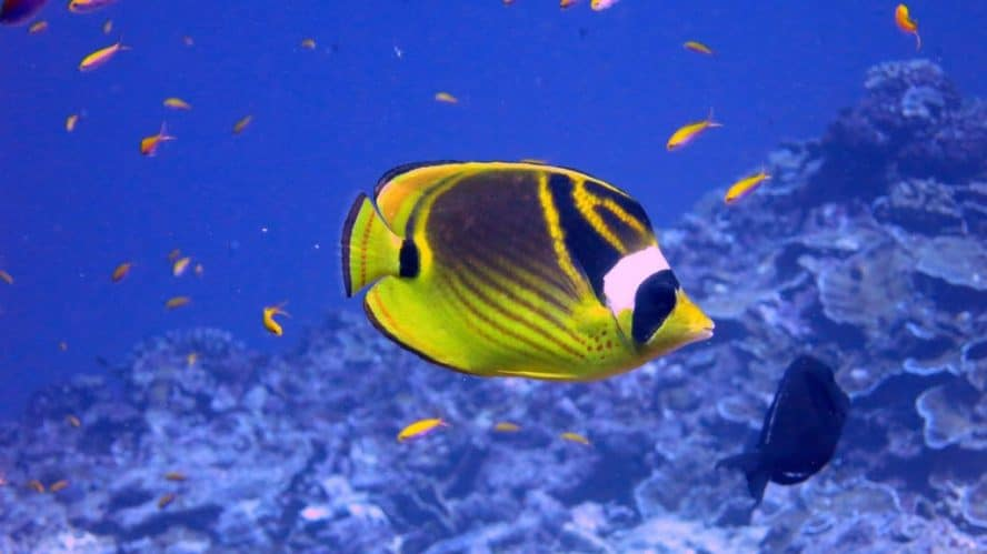 Raccoon Butterflyfish: The complete care, diet, and setup guide 1