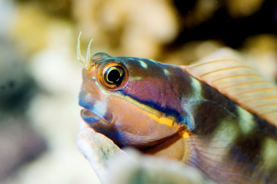 tailspot blenny care guide