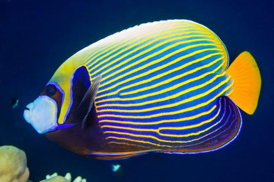 adult emperor angelfish