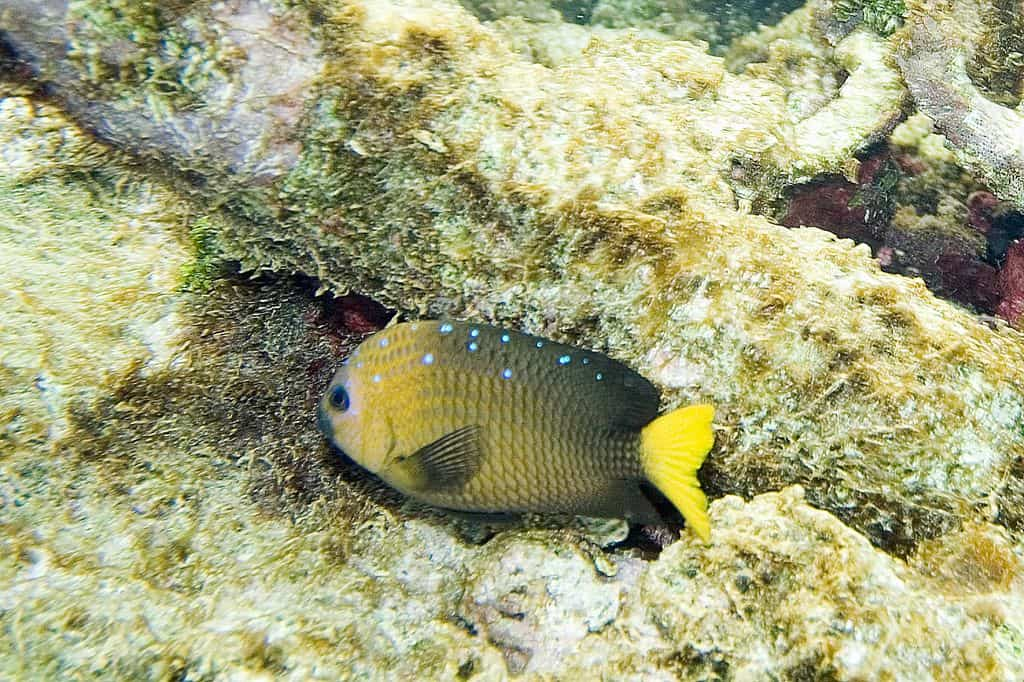 fishkeeping forever-jewel damselfish
