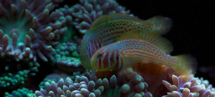 Breeding pair of clown goby