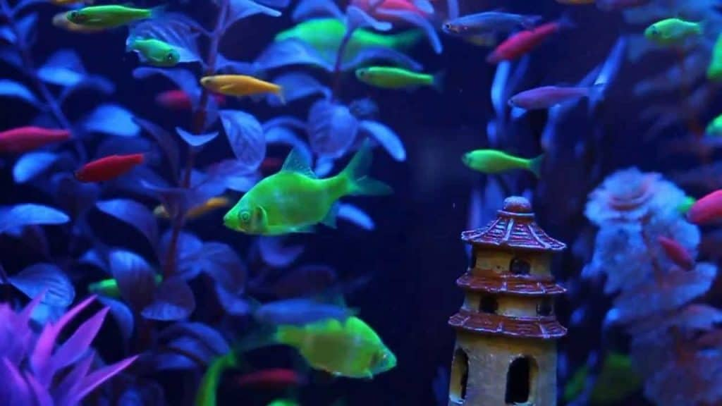 How are GloFish made?