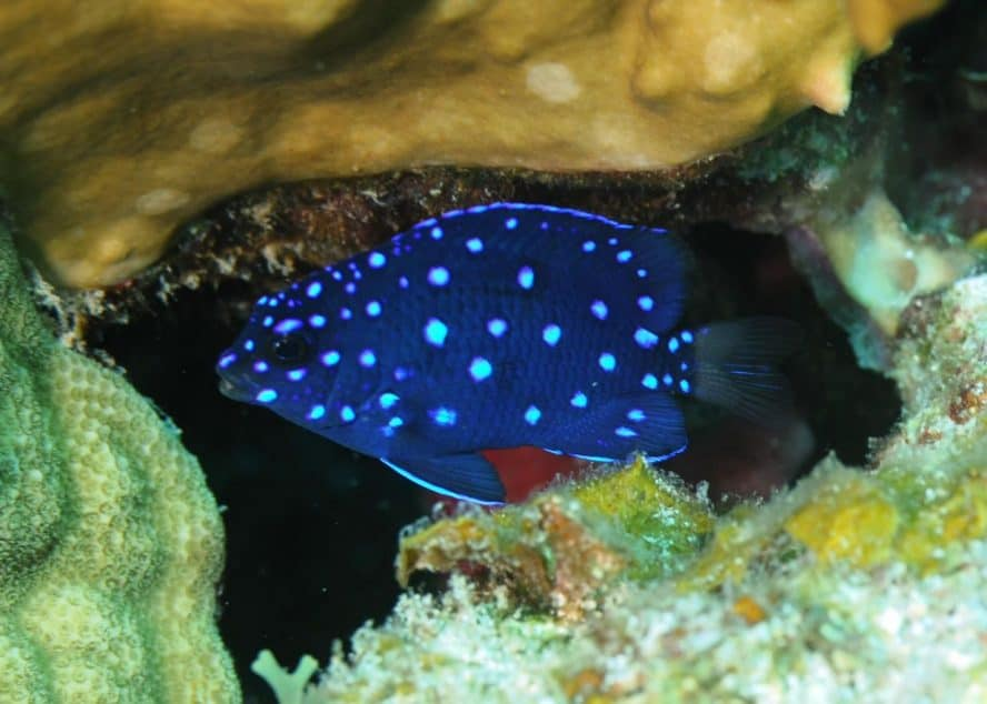 jewel damselfish-fishleepingforever