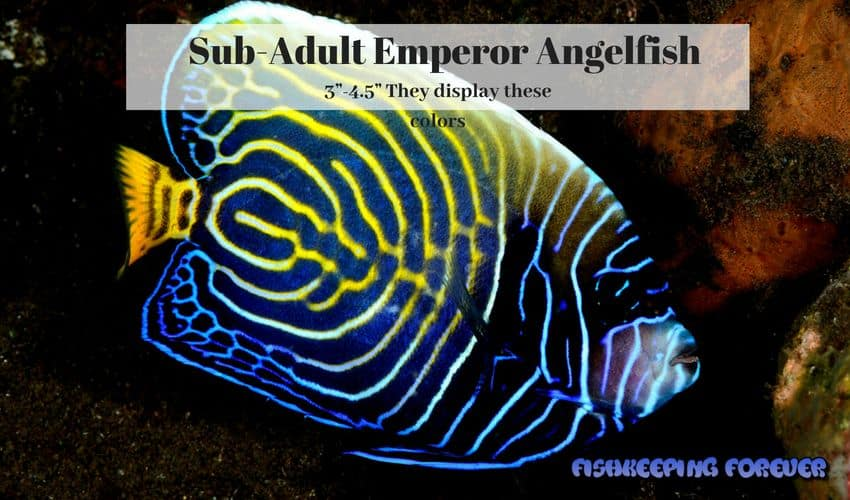 sub-adult emperor angelfish