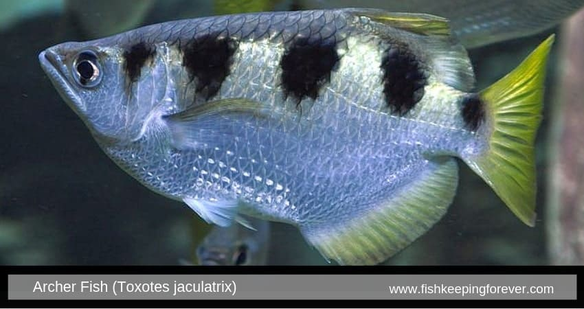 Archer Fish (Toxotes jaculatrix)