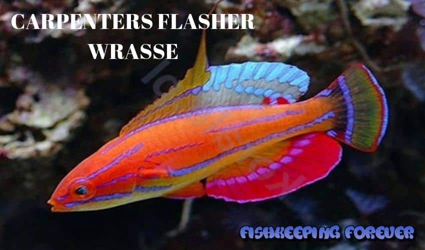 CARPENTERS FLASHES WRASSE