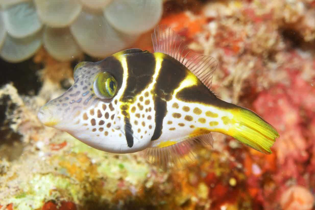 Mimic Saddle Filefish:Diet | Breeding | Sexing | Cost | Care Guide 11