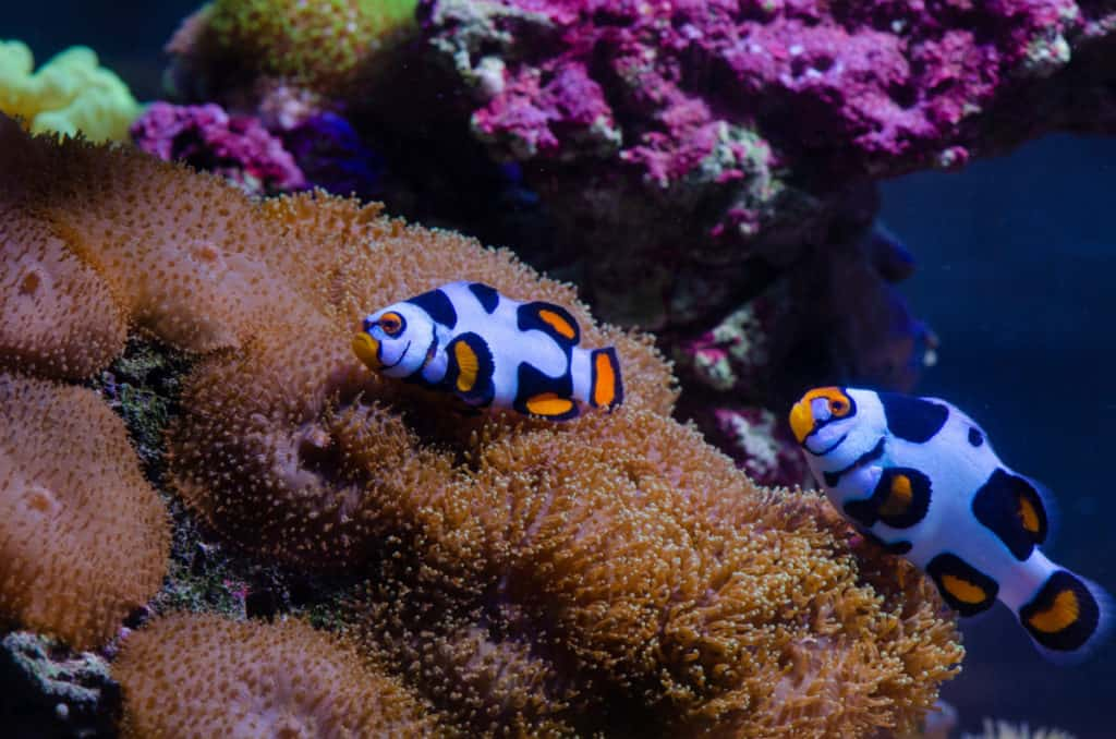 pair of picasso clownfish