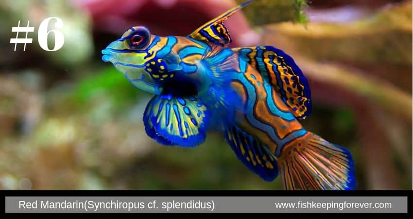 red-mandarin-fish