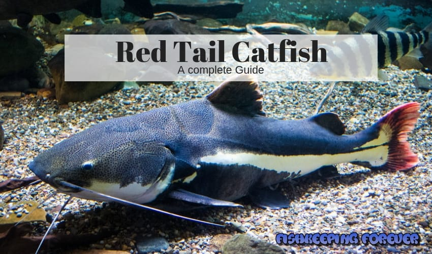 red tail catfish a complete guide