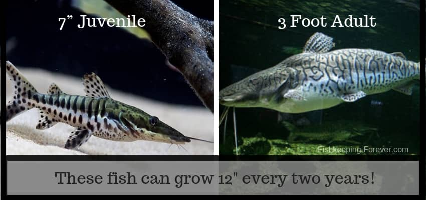 tiger catfish complete care guide