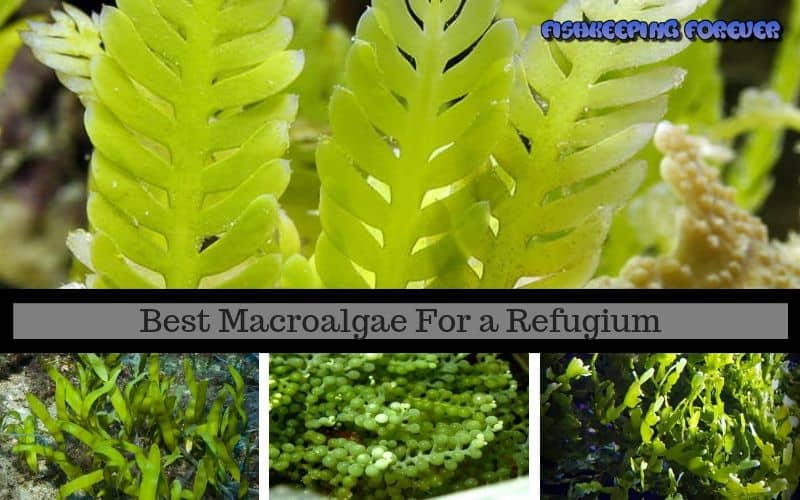 Best-Macroalgae-For-a-Refugium