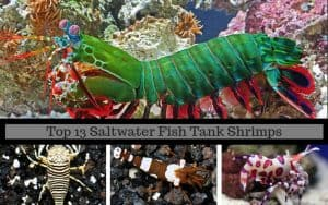 top 13 saltwater fish tank shrimps