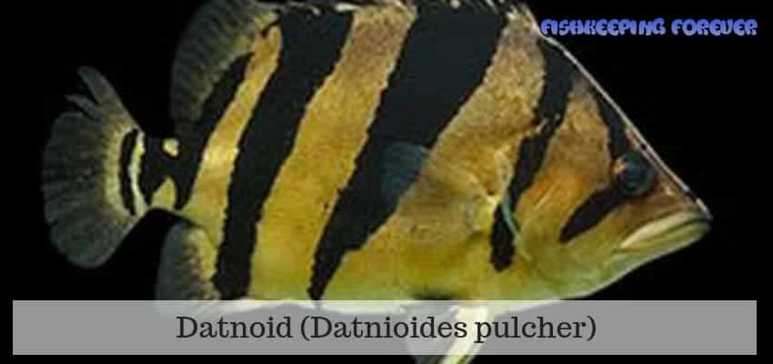 datnoid fish
