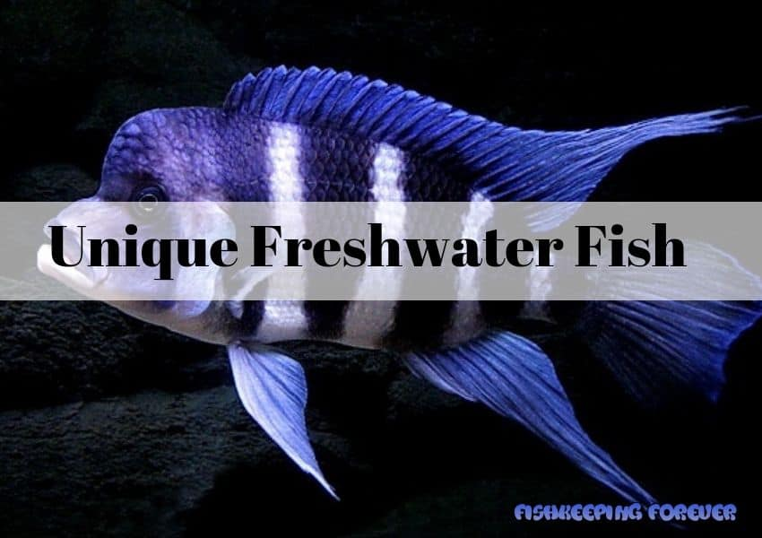 unique-freshwater-fish