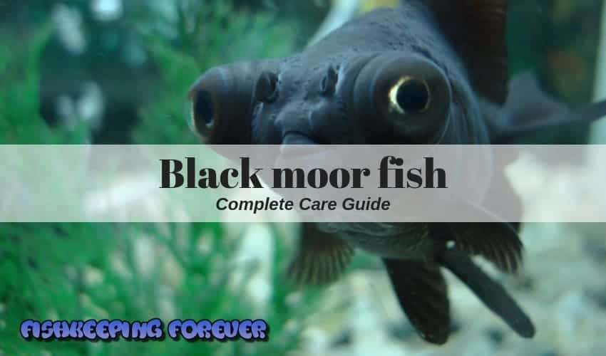 Black Moor Fish