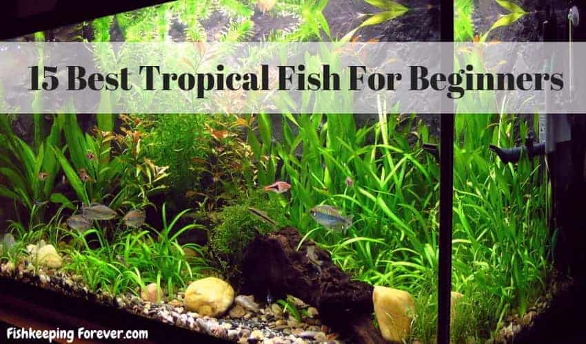 15 Best Tropical Fish For Beginners