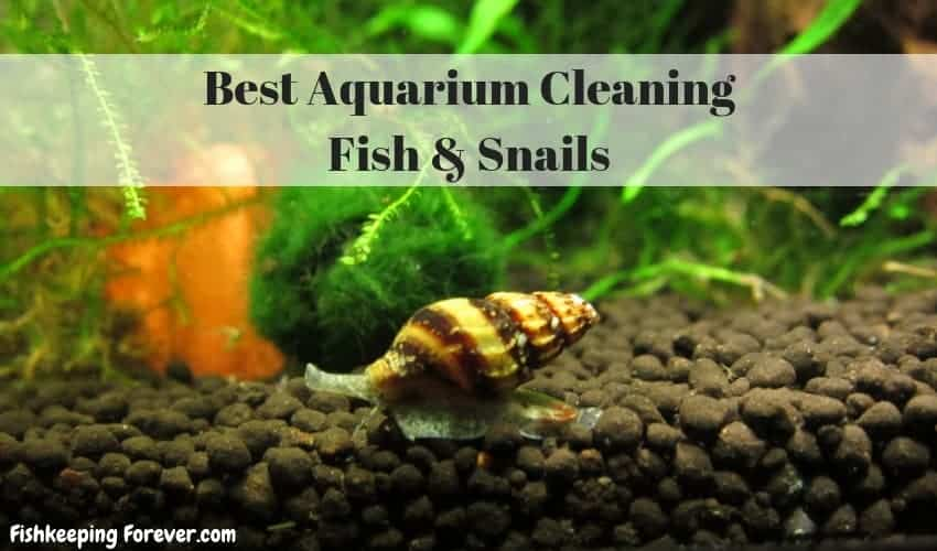 Best Aquarium Cleaning Fish