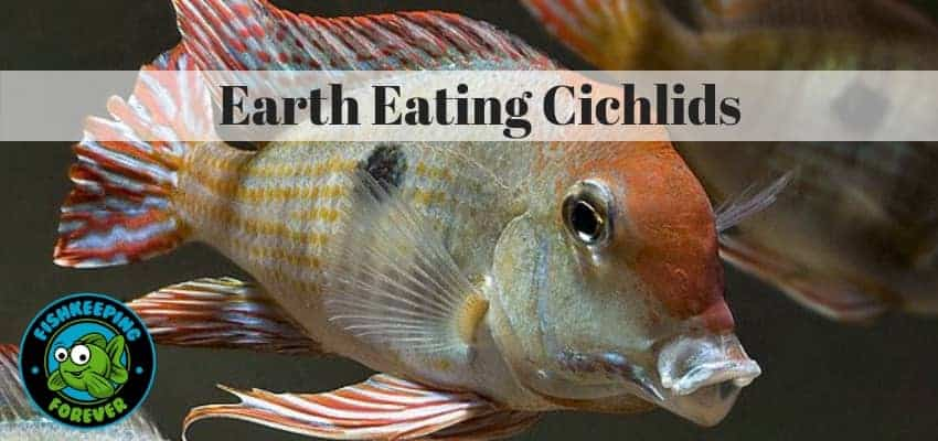 Earth eating cichlids