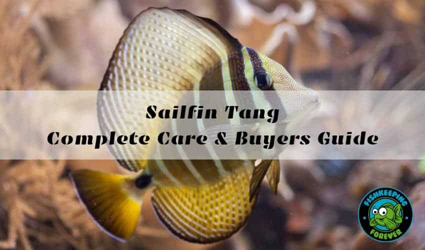 Sailfin Tang Complete Care & Buyers Guide