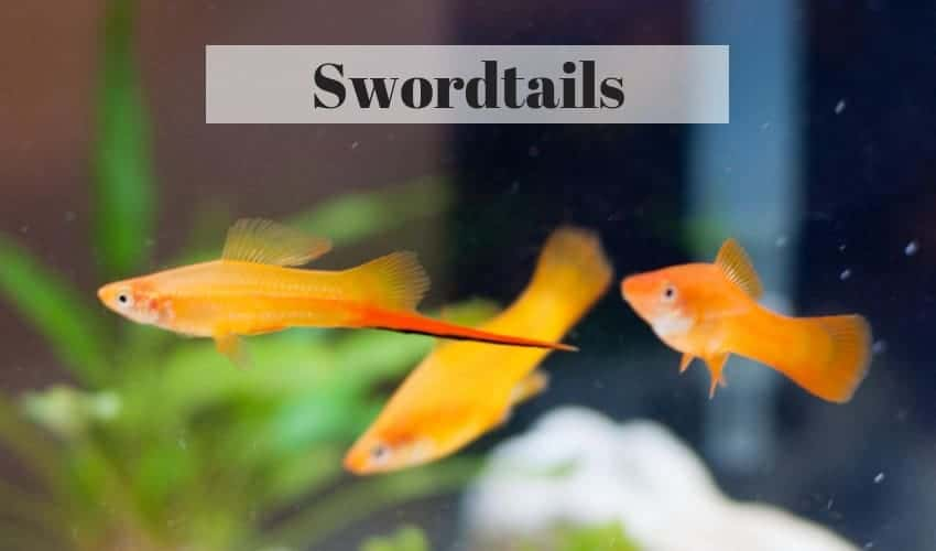 swordtail tropical fish