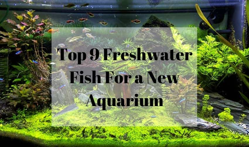 Top 9 Freshwater fish for a new aquarium