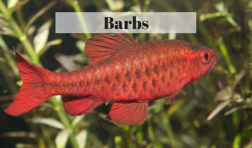 barb tropical freshwater fish
