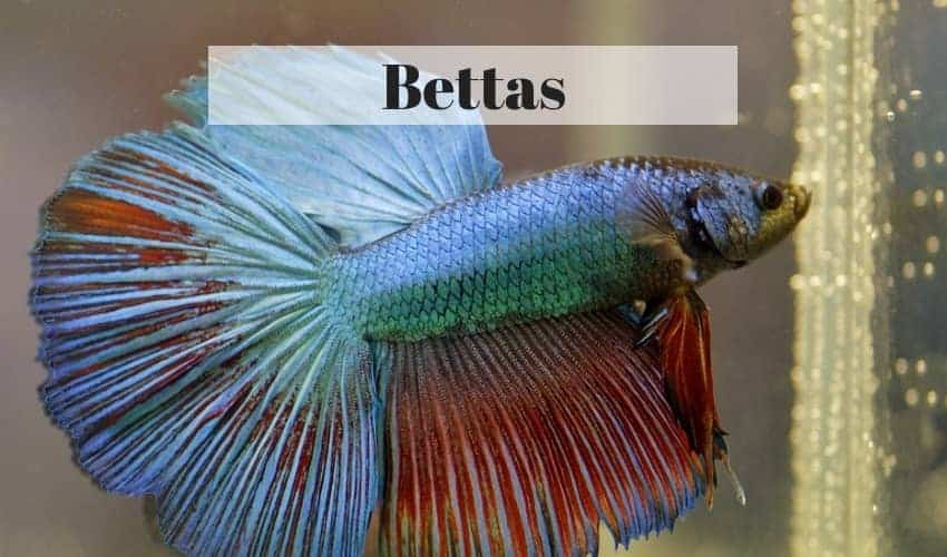 betta tropical fish