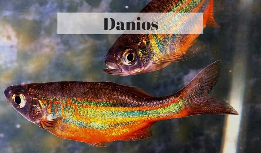 danio freshwater tropical fish