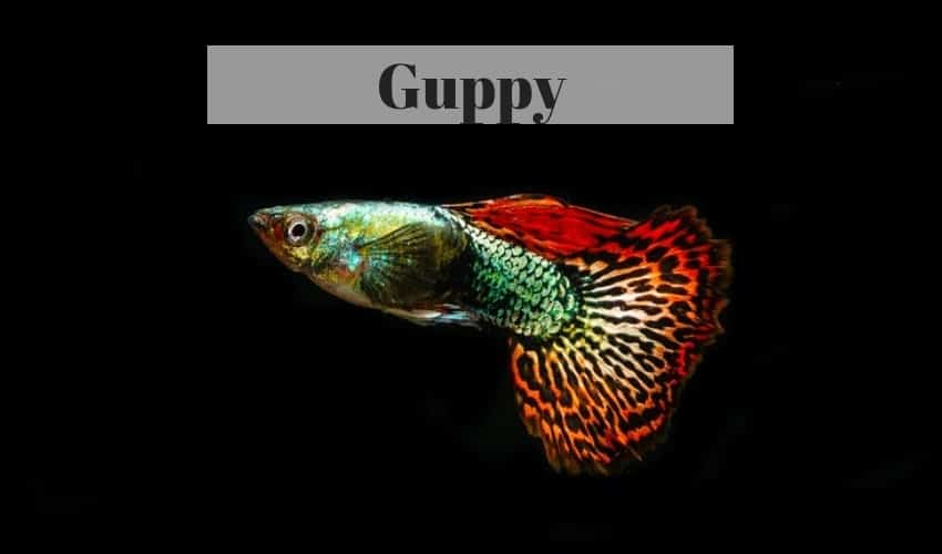 guppy freshwater tropical fish