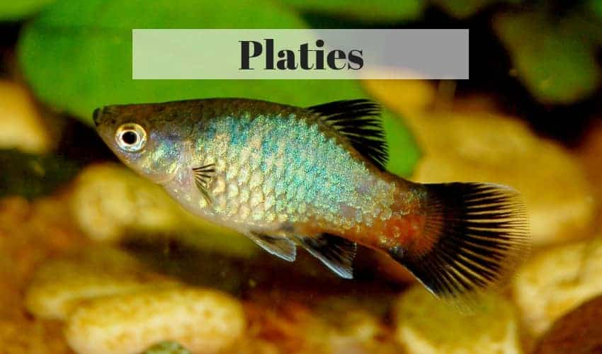 Platies tropical fish