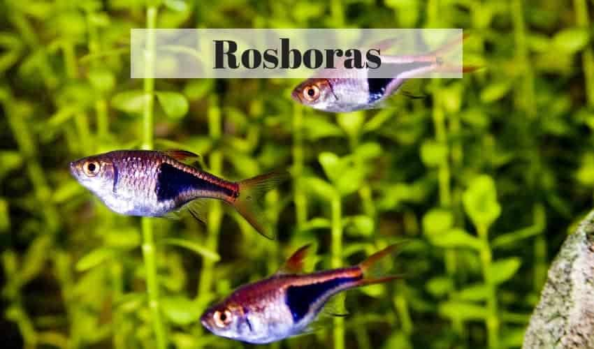 Rasbora tropical fish