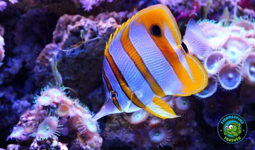 copperband butteryfly fish