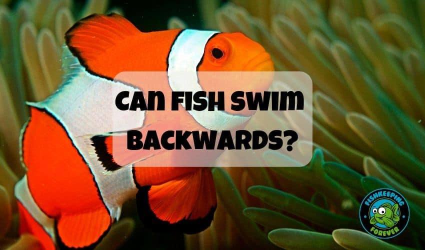 can fish swim backwards