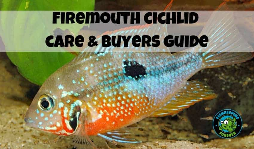Firemouth cichlid care & buyers guide