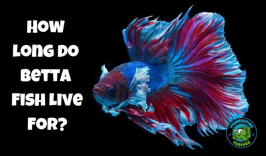 How long do betta fish live for?