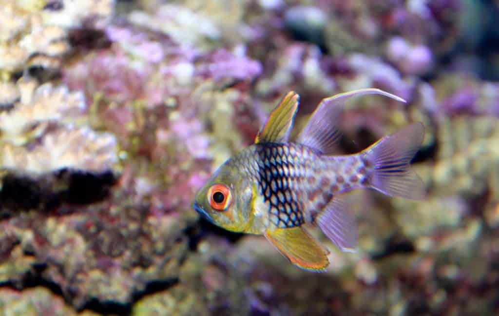 Pajama Cardinalfish: Care, Breeding, Feeding and cost guide 1