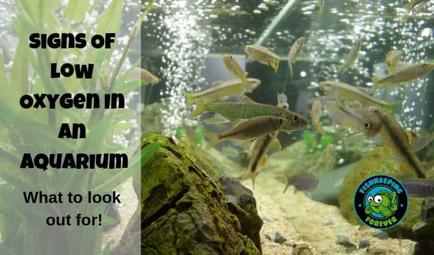 Signs Of Low Oxygen In an Aquarium