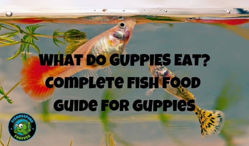 what do guppies eat?