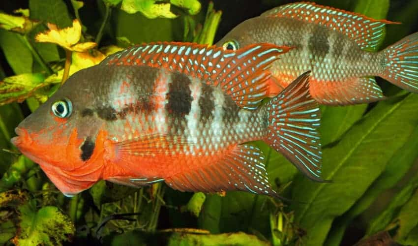 a pair of firemouth cichlids