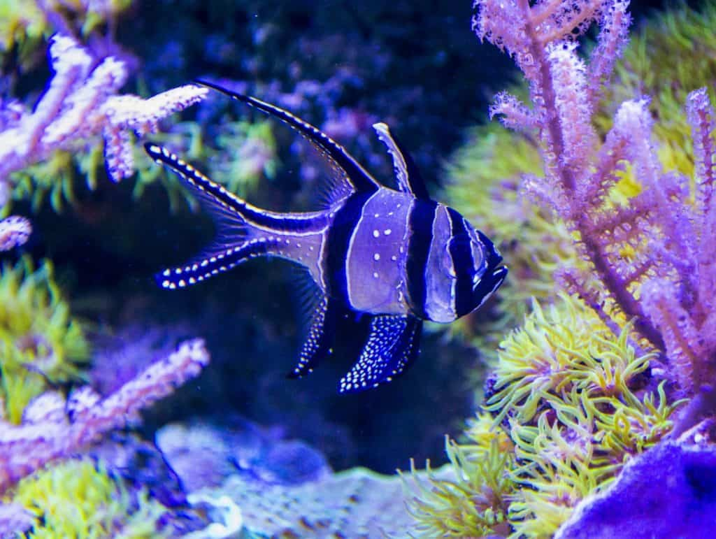 Banggai cardinalfish care guide